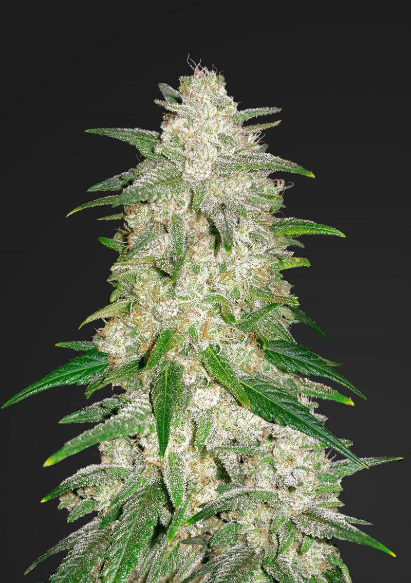 Семена конопляные феминизированные купить марихуану через лед